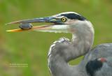 Amerikaanse Blauwe Reiger - Great Blue Heron - Ardea herodias