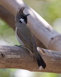 Witwang buulbuul - Himalayan Bulbul - Pycnonotus leucogenys