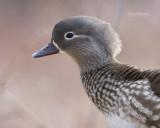 Mandarijneend - Manderin duck - Aix galericulata