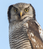 Sperweruil - Northern hawk owl - Surnia ulula