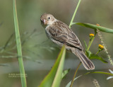 Roodkin-dikbekje - Chestnut-throated Seedeater - Sporophila telasco
