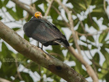 Grote Geelkopgier - Greater Yellow-headed Vulture - Cathartes melambrotus