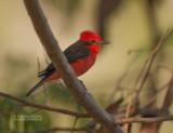 Rode Tiran - Vermilion Flycatcher - Pyrocephalus rubinus
