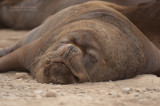 Patagonische zeeleeuw - Patagonian sea lion - Otaria flavescens