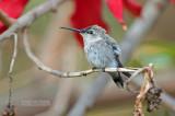 Atacama-kolibrie - Oasis Hummingbird - Rhodopis vesper