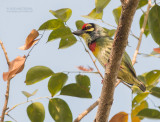 Asian Barbets