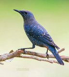 Blauwe Rotslijster - Blue Rock-Thrush - Monticola solitarius
