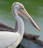 Grijze Pelikaan - Spot-billed Pelican - Pelecanus philippensis