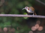 Tree-Babblers, Scimitar-Babblers, and Allies