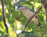 Shrike-Babblers