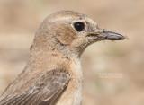 Oostelijke Blonde Tapuit - Eastern Black-eared Wheatear - Oenanthe melanoleuca