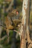 Resusaap - Rhesus macaque  - Macaca mulatt