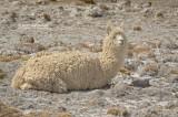 Alpaca - Alpaca - Vicugna pacos