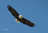Afrikaanse Zeearend - African fish eagle - Haliaeetus vocifer