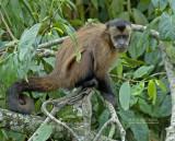 Bruine kapucijnaap - Brown capuchin monkey - Cebus apella