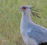 Secretaris vogel - Secretarybird - Sagittarius serpentarius
