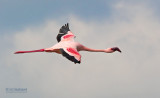 Kleine Flamingo - Lesser Flamingo - Phoenicopterus minor