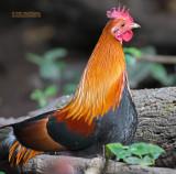 Bankivahoen - Red Junglefowl - Gallus gallus gallus