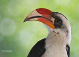 Deckentok - Von Der Deckens Hornbill -Tockus deckeni