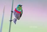 Kleine Kraaghoningzuiger - Southern Double-collared Sunbird - Cinnyris chalybeus