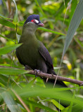 Turacos