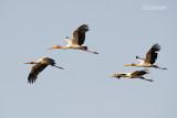Afrikaanse nimmerzat  - Yellow-billed Stock - Mycteria ibis
