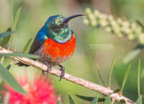 Sunbirds and Spiderhunters