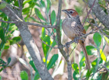 Crombecs and African Warblers