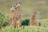 Stokstaartje - Meerkat - Suricata suricatta