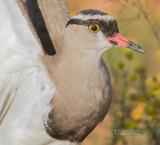 Diadeemkievit - Crowned Lapwing - Vanellus coronatus