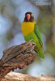 Zwartmaskeragapornis - Yellow-collared Lovebird - Agapornis personatus