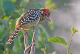 Vuurkopbaardvogel - Red-and-Yellow Barbet - Trachyphonus erythrocephalus