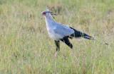 Secretarisvogel - Secretary-bird - Sagittarius serpentarius