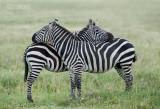 Steppe Zebra - Plains Zebra - Equus quagga