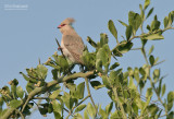 Blauwnekmuisvogel - Blue-naped Mousebird - Urocolius macrourus