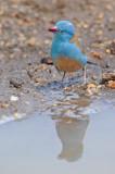 Blauwkopblauwfazantje - Blue-capped Cordon-blue - Uraeginthus cyanocephalus