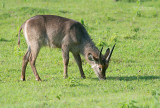 Ellips Waterbuck - Ellips Waterbok - Kobus ellipsiprymnus ellipsiprymnus
