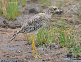 Kaapse Griel - Spotted Thick-knee - Burhinus capensis
