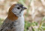 Schubkopwever - Speckle-fronted Weaver - Sporopipes frontalis