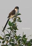 Cabanis klapekster - Long-tailed Fiscal - Lanius cabanisi