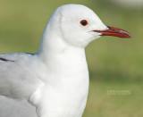 Hartlaubs Meeuw - Hartlaub's Gull - Chroicocephalus hartlaubii
