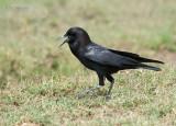 Kaapse roek - Cape Rook - Corvus capensis