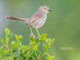 Cisticola's and Allies
