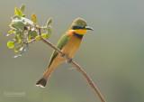 Dwerg bijeneter - Little bee-eater - Merops pusillus
