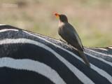 Geelsnavelossenpikker - Yellow-billed Oxpecker - Buphagus africanus