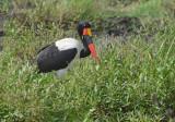 Zadelbekooievaar - Saddle-billed stork - Ephippiorhynchus senegalensis
