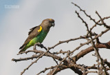 Meyers papegaai - Brown Parrot - Poicephalus meyeri