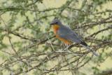 Zilvervliegenvanger - Silverbird - Empidornis semipartitus
