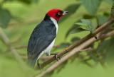 Zwartkeelkardinaal - Red-capped Cardinal - Paroaria gularis