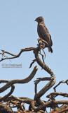 Bruine Slangenarend - Brown Snake-eagle - Circaetus cinereus